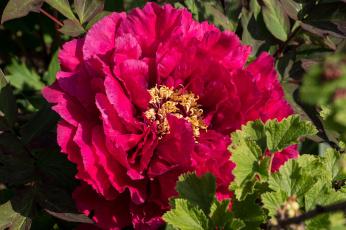 обоя цветы, пионы, пион, лепестки, макро
