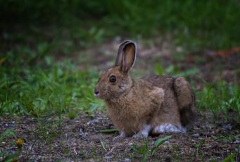 обоя животные, кролики,  зайцы, заяц