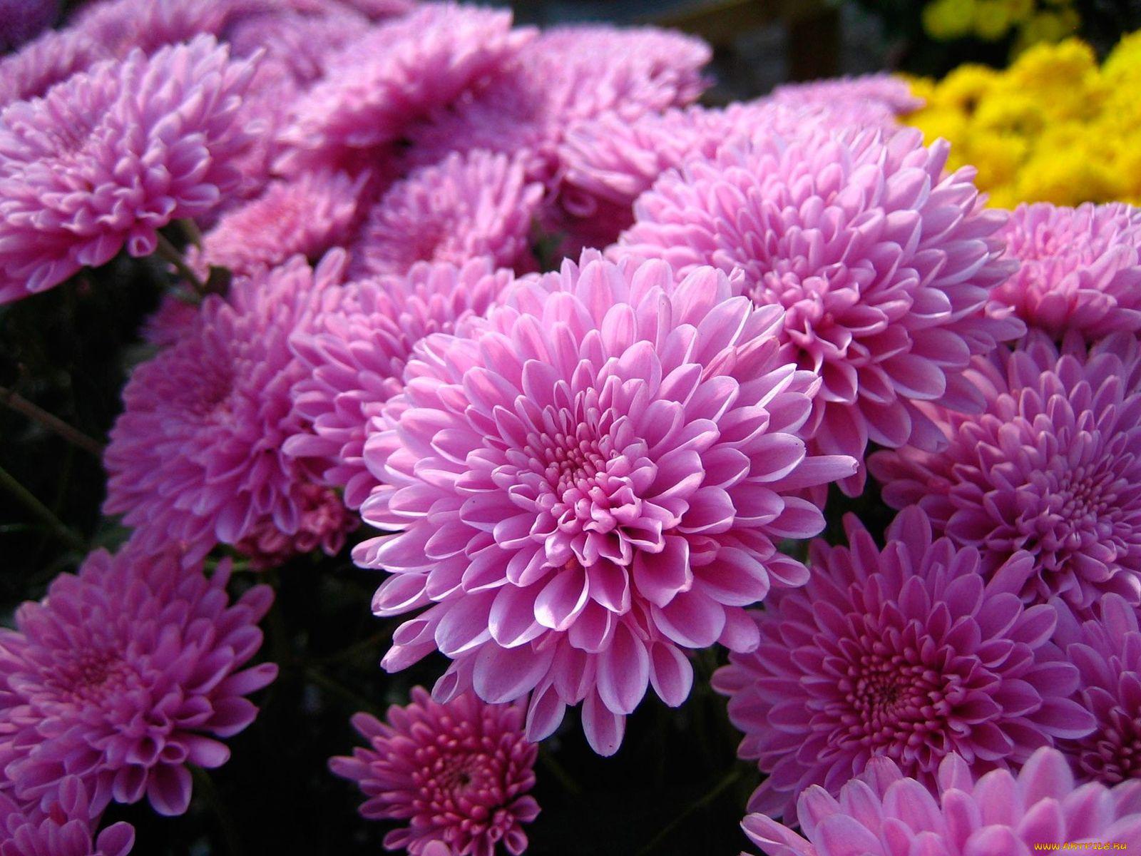 хризантема цветы  № 1353173  скачать