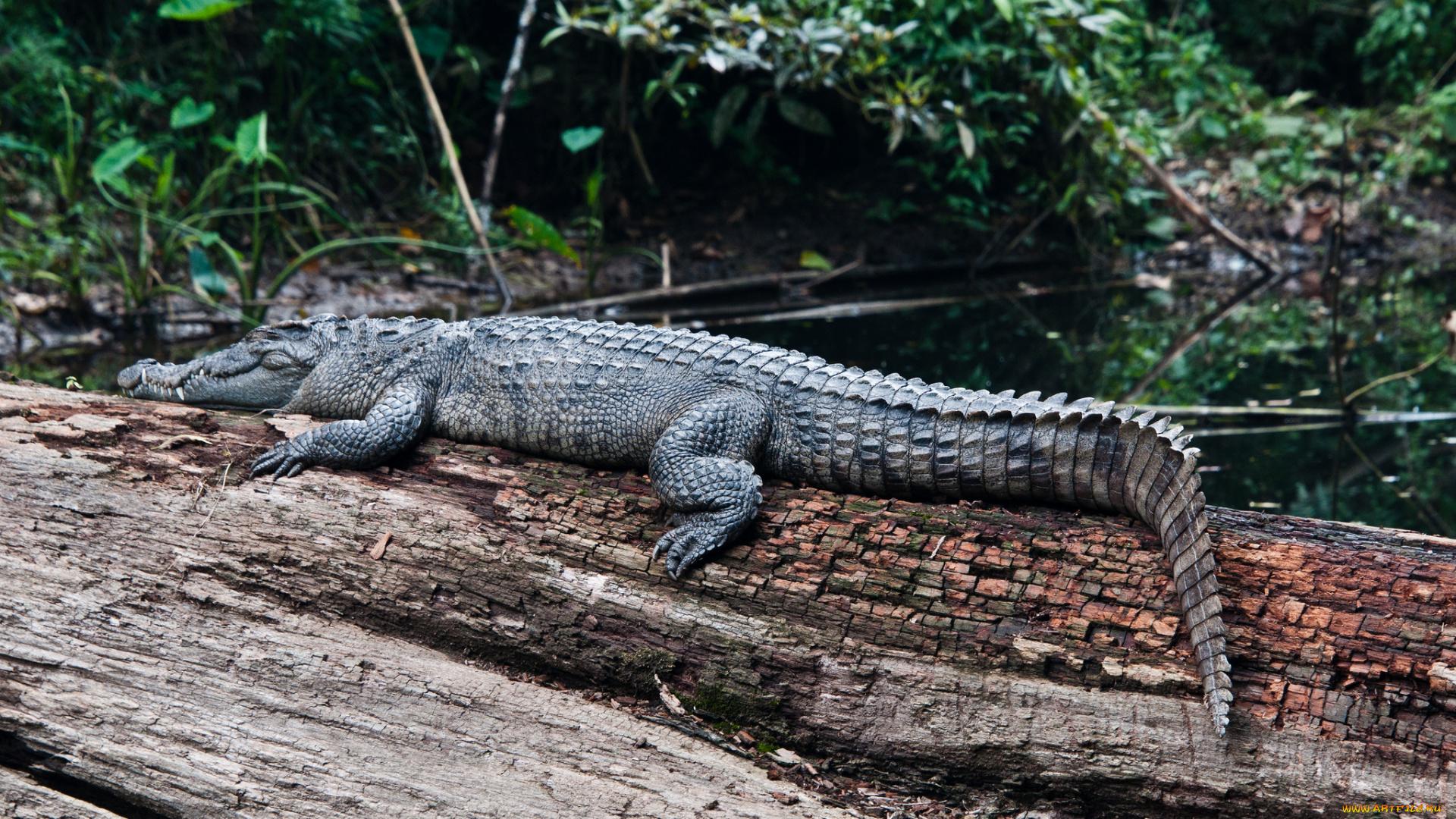 гиф олени и бревно крокодил