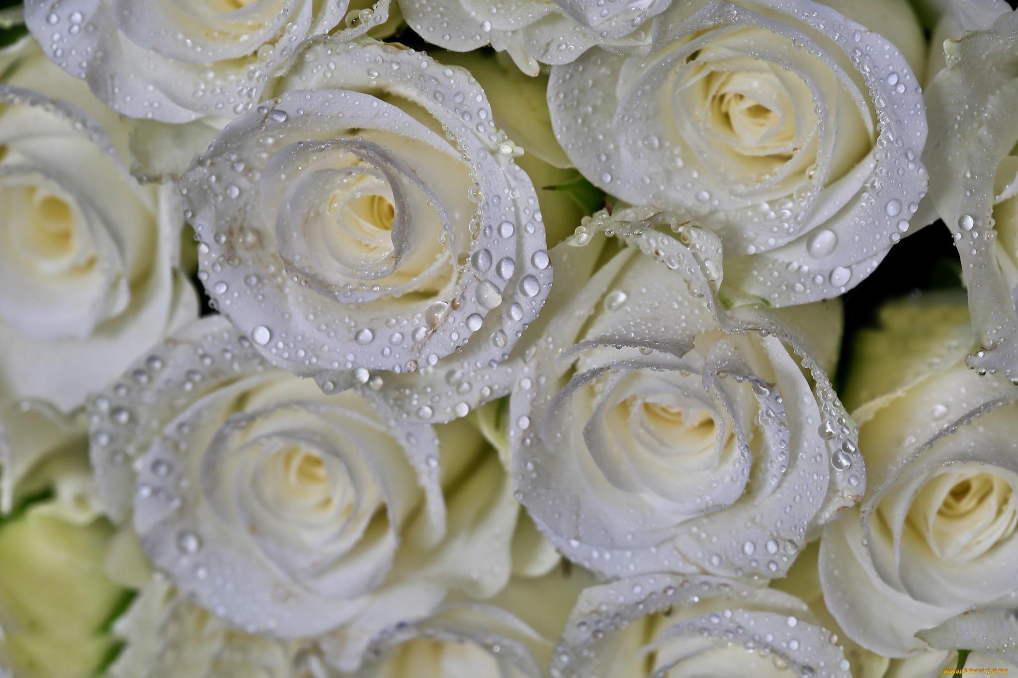 Картинки с цветами белые розы, анимационные картинки