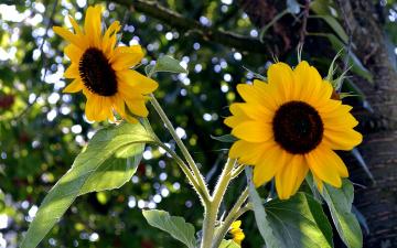 Картинка цветы подсолнухи лепестки