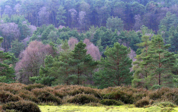 Картинка природа лес сосны