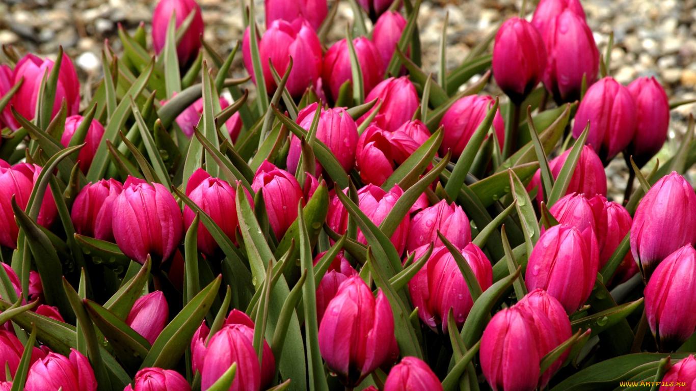 тюльпаны клумба  № 1349432 загрузить