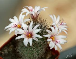 Картинка цветы кактусы кактус колючки красота