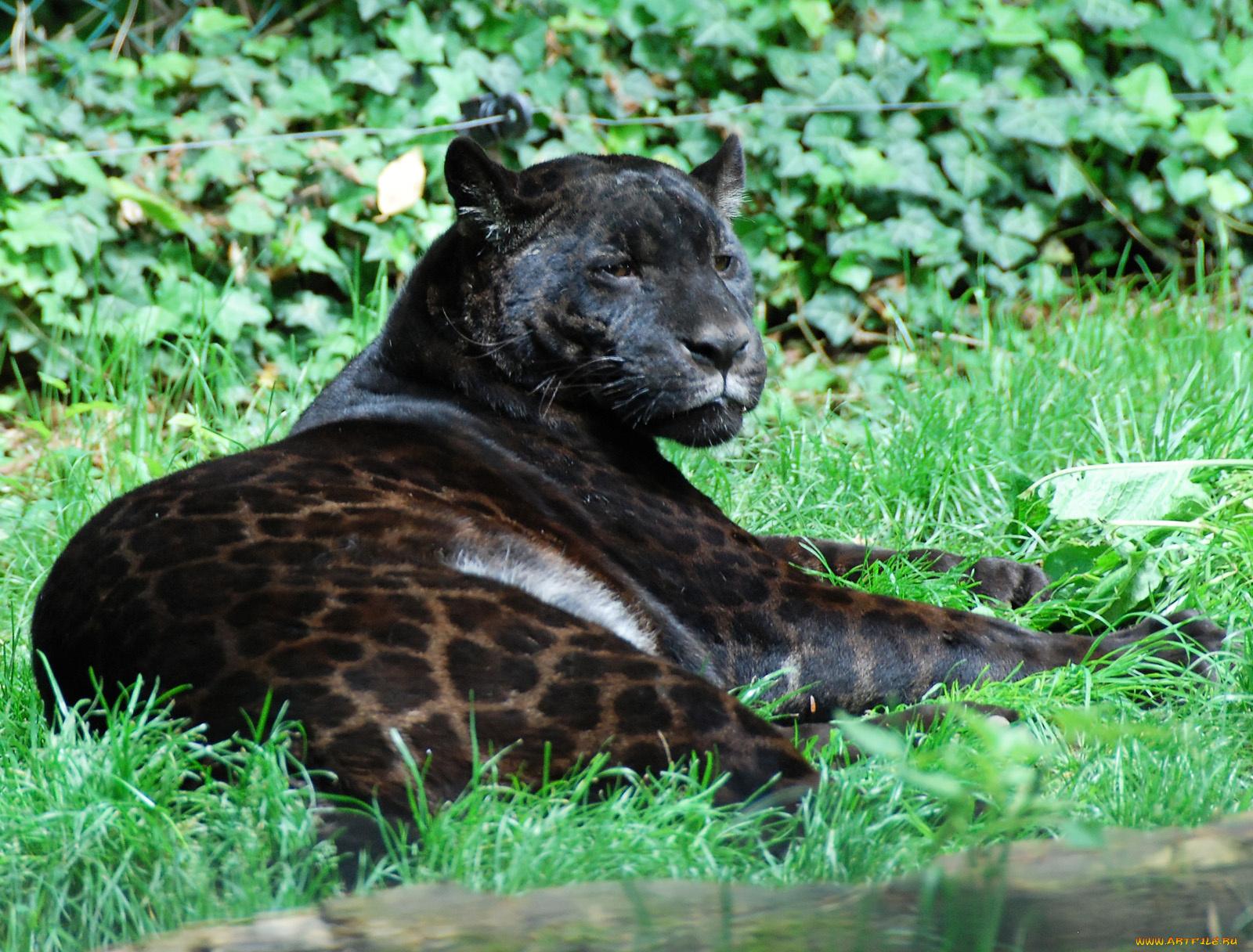 свой картинки пантер ягуаров пум чистейших красивейших
