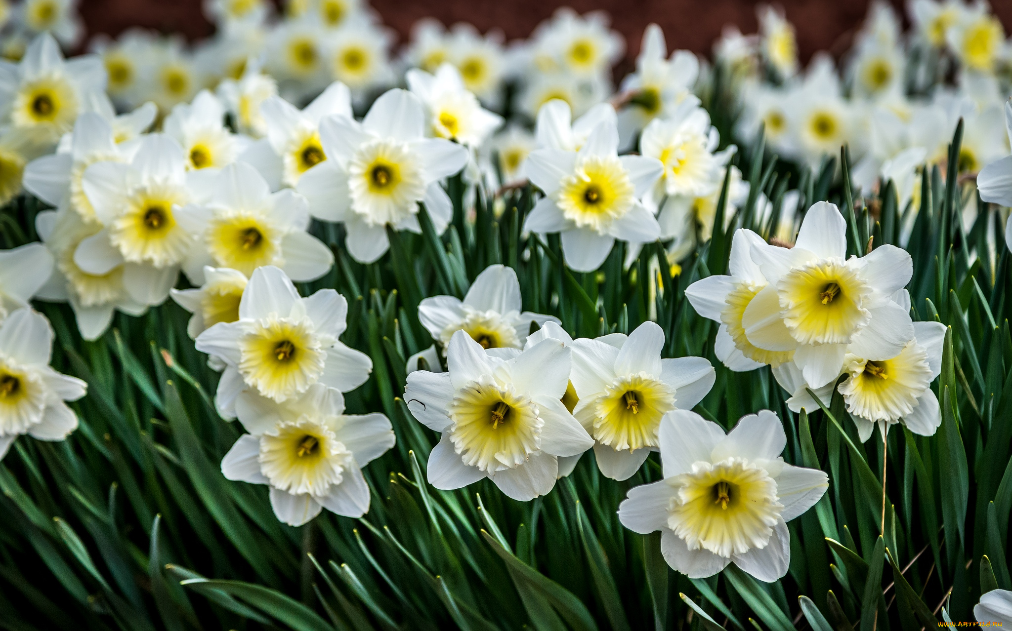 Цветы нарциссы картинки красивые, марта картинкой