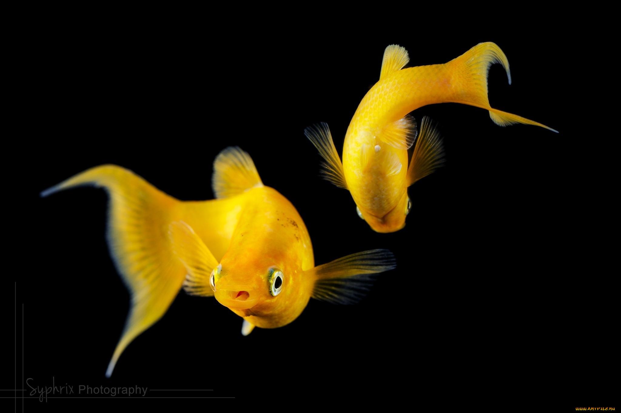 Желтая Рыба макро  № 1088218 бесплатно