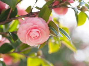 Картинка цветы камелии shrubs flowering leaf bud бутон цветение кустарник camellia листья камелия
