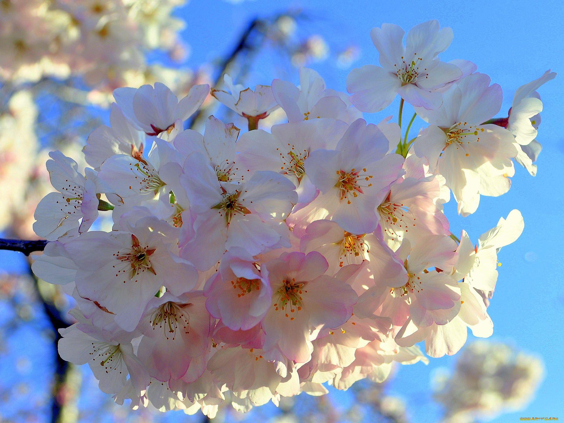 Открытка цветущая вишня, картинки эрмитаж