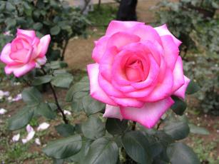 Картинка цветы розы rose