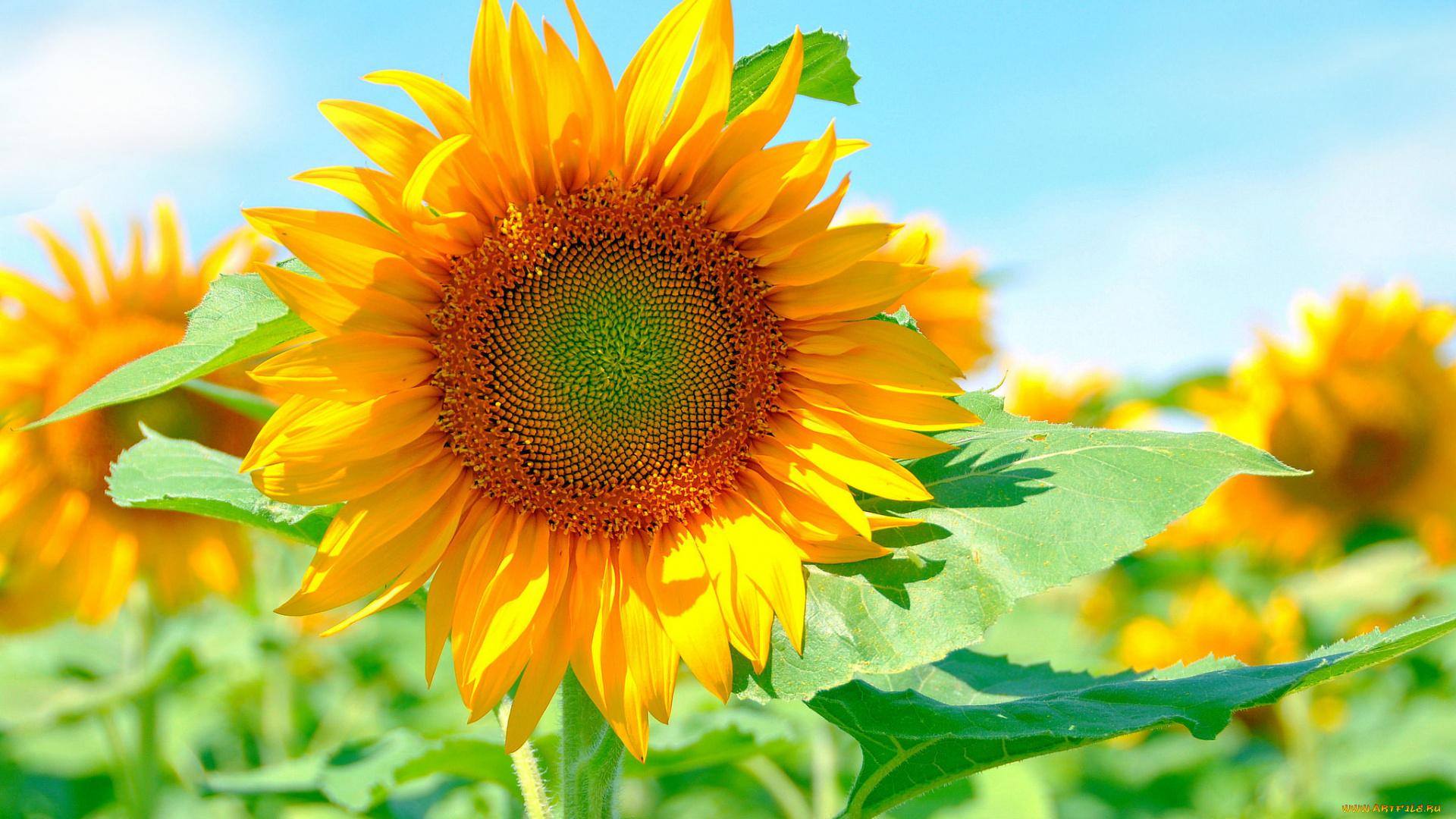 Подсолнух лепестки солнце лучи скачать