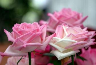 обоя цветы, розы, лепестки, нежность