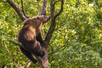обоя животные, медведи, медведь, бурый, на, дереве, дерево