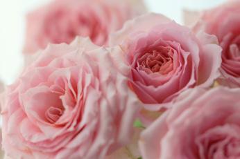 обоя цветы, розы, бутоны, розовые, макро