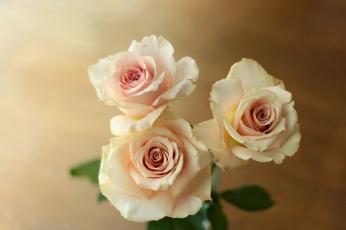 обоя цветы, розы, трио, бутоны