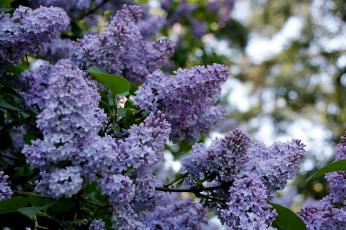 обоя lilac, цветы, сирень, красота, дерево