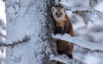 обоя животные, хорьки,  куницы,  горностаи,  ласки,  соболи, снег, дерево, куница, зверёк, ветки