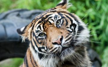 обоя животные, тигры, голова, уши, тигр