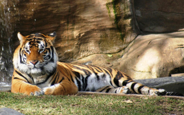 обоя животные, тигры, лужайка, рыжий, тигр, скала, отдых