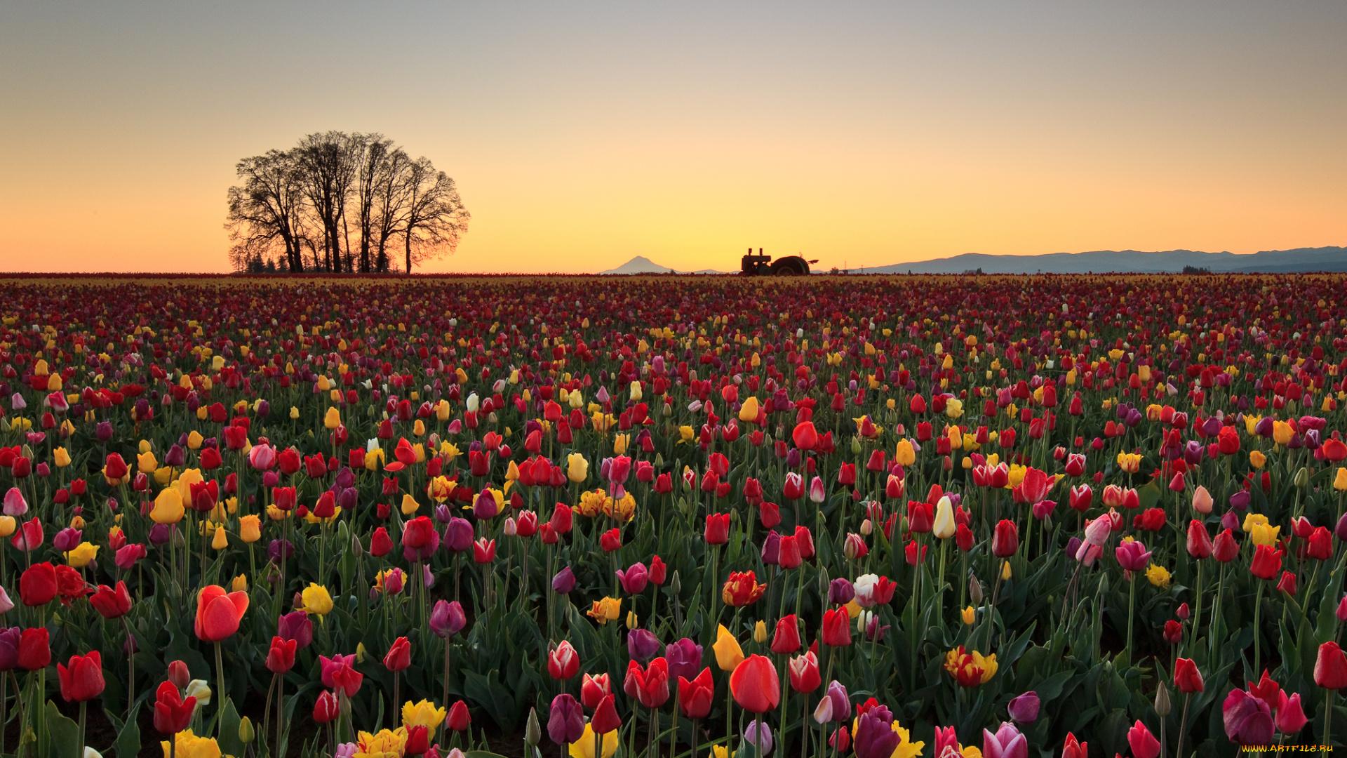 Тюльпаны поле цветные скачать