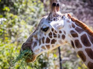 Картинка животные жирафы пятна трава