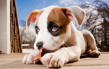 Картинка животные собаки pitbull boxer mix боксёр питбуль щенок