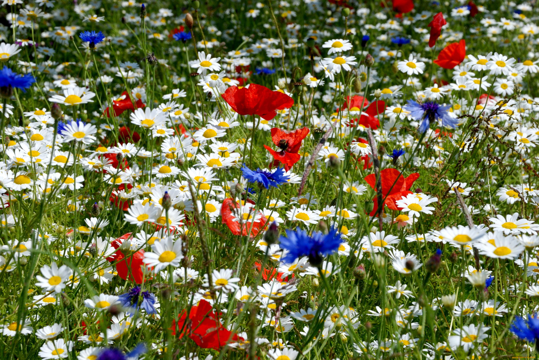 Цветы луговые картинки прикольные