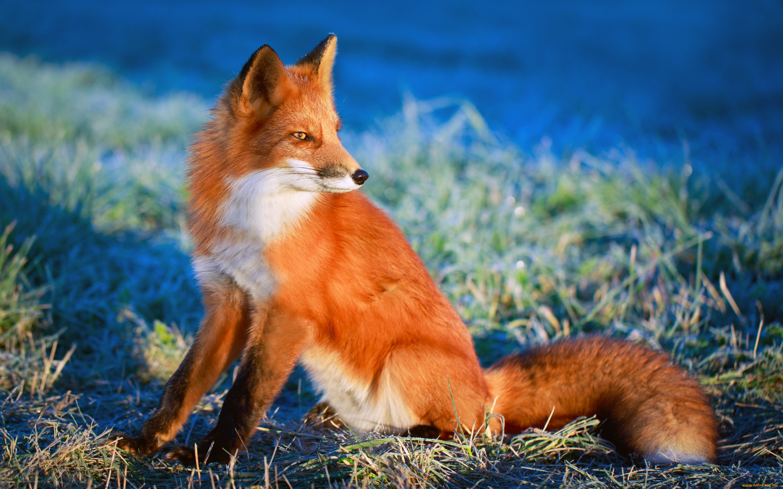 Открытки животные лиса