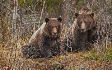 обоя животные, медведи, пара, бурые, ветки, лес