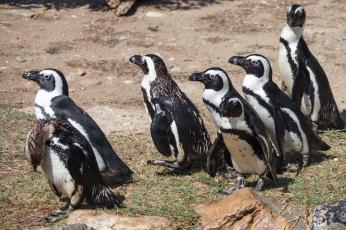обоя животные, пингвины, забавные, стая
