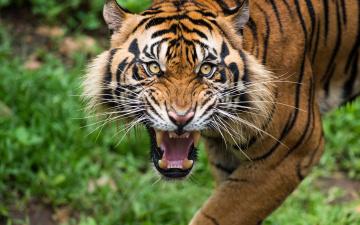 обоя животные, тигры, тигр, оскал