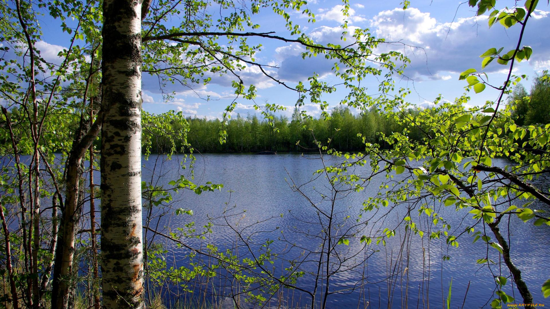 березы берег озеро  № 1195489  скачать