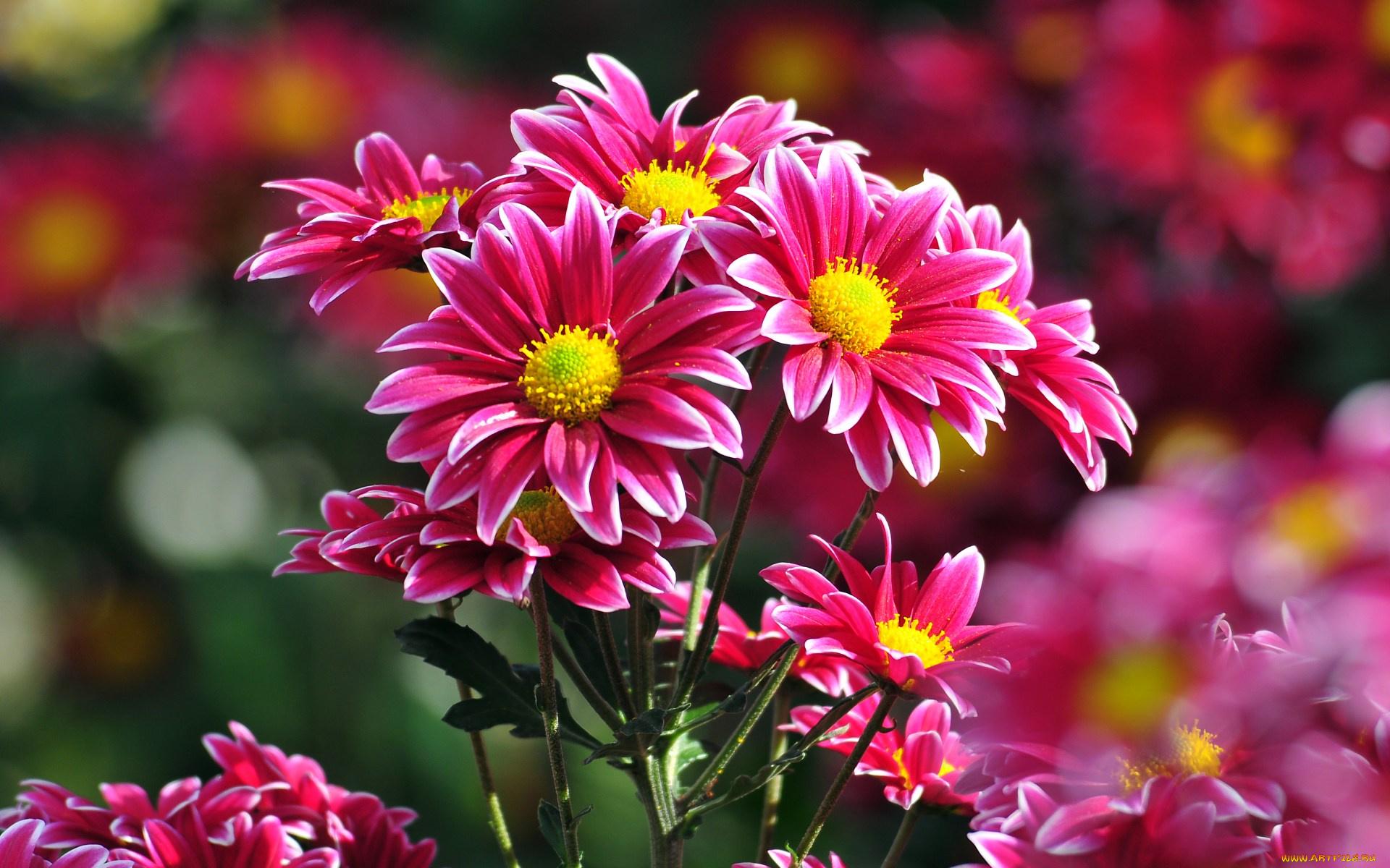 Юбилеем, красивые открытки цветы хризантемы