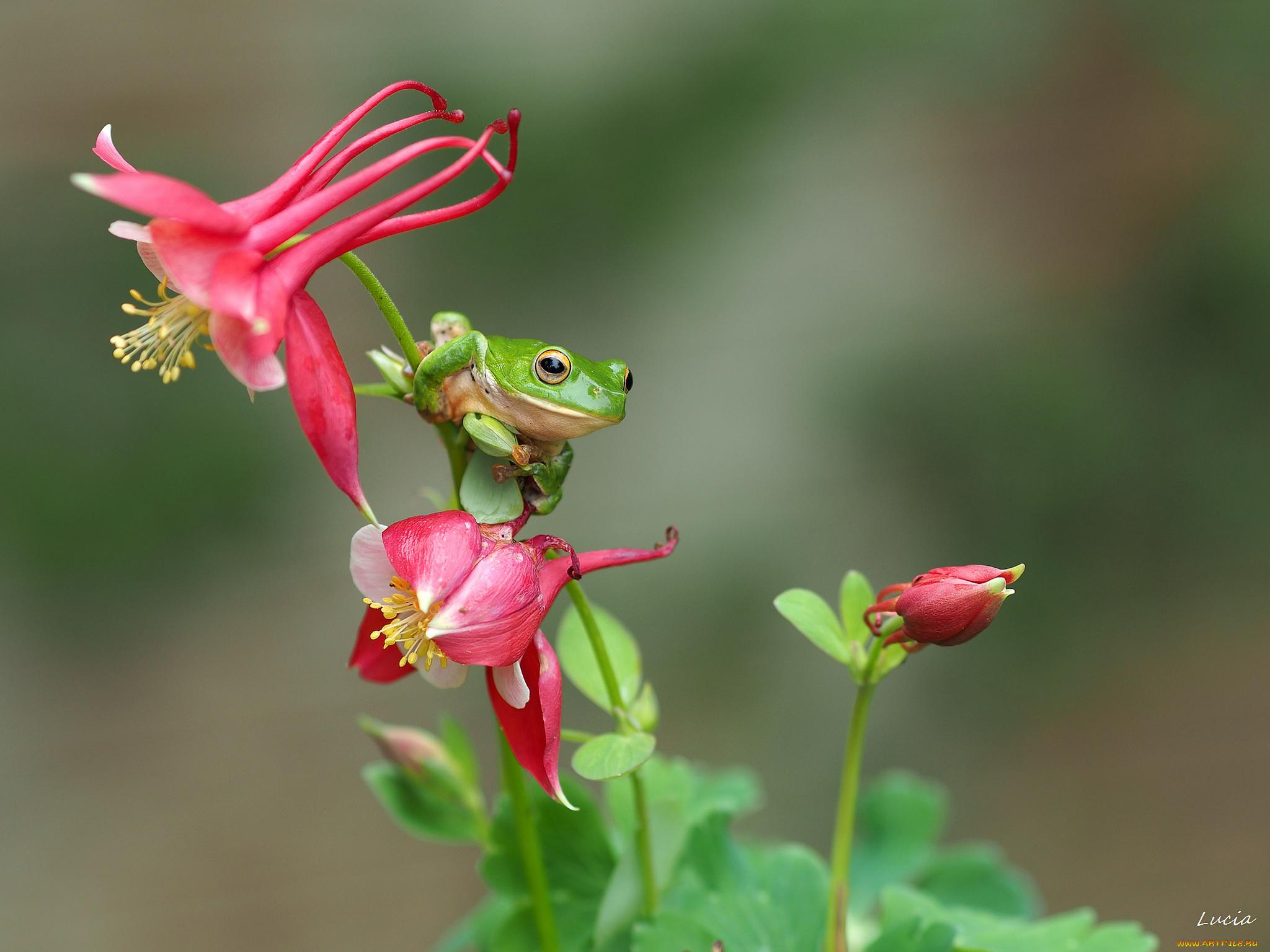 Цветок жабка