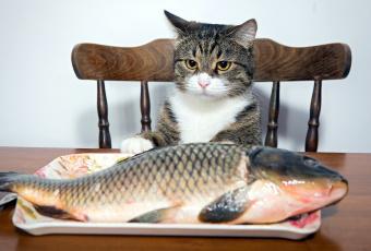 обоя юмор и приколы, кот, карп, рыба, поднос, стол