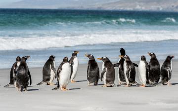 обоя животные, пингвины, море, побережье, стая