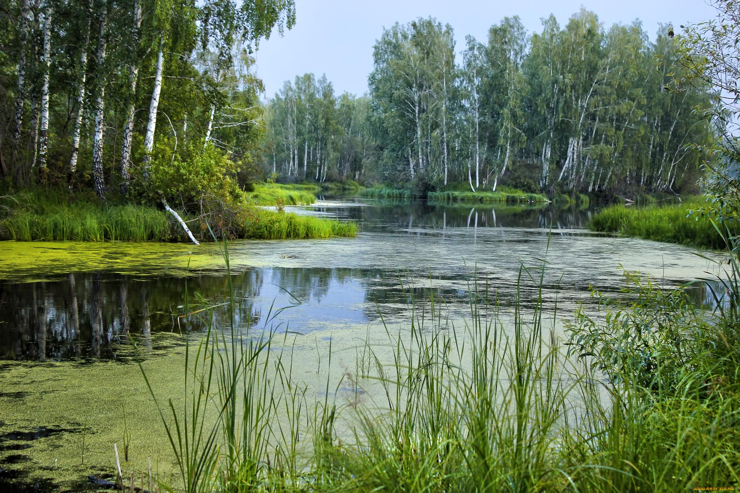 березы берег озеро  № 1195509 загрузить
