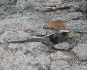 Картинка животные Ящерицы игуаны вараны