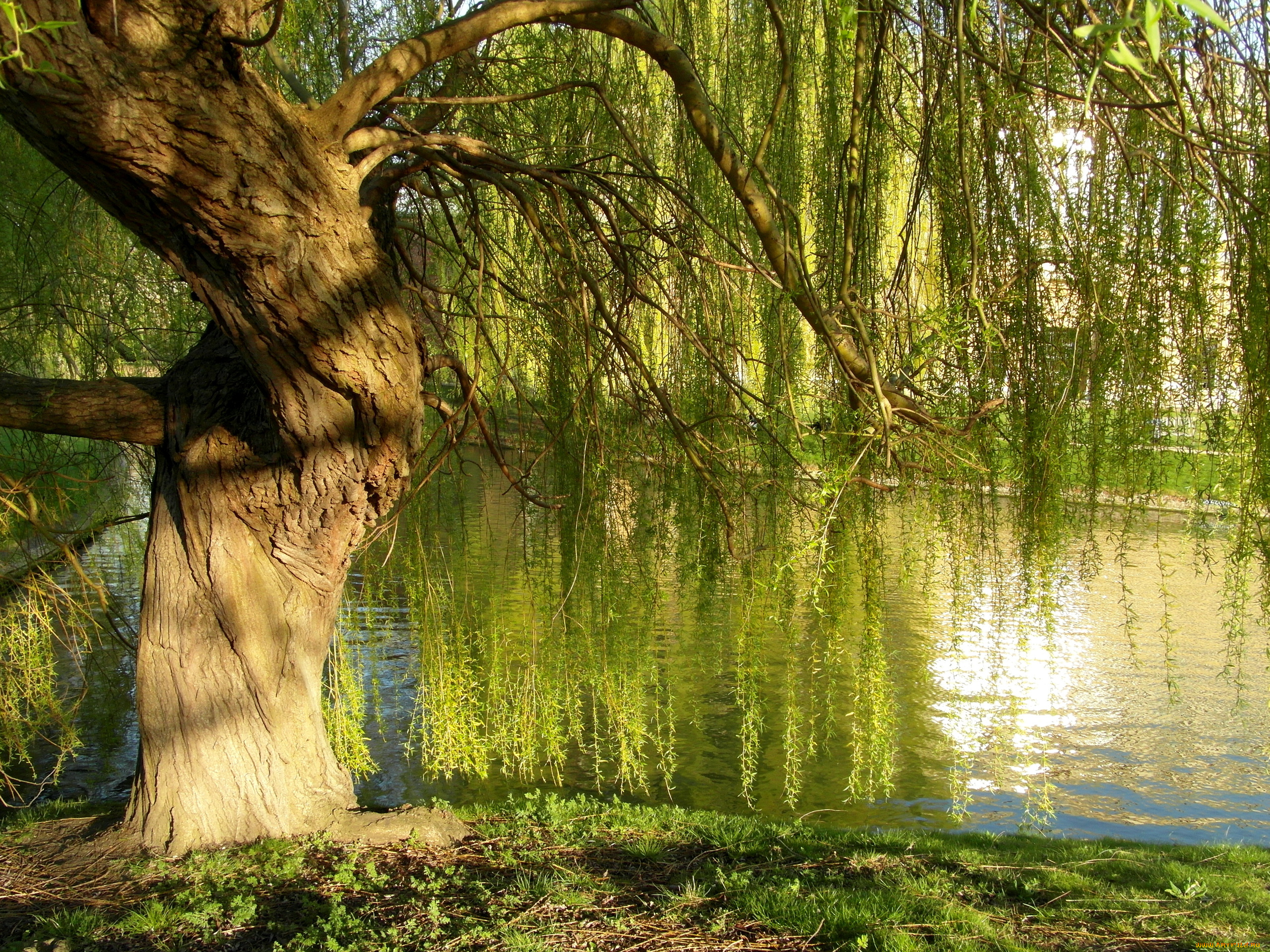 Деревья возле озера скачать