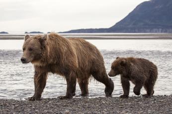 Картинка животные медведи hallo bay bear camp katmai national park alaska национальный парк катмай аляска бурые медведица медвежонок