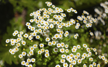 Картинка цветы ромашки трава зелень размытость