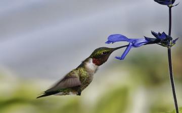Картинка животные колибри полет цветок макро