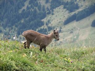Картинка животные козы ибекс альпийский козёл