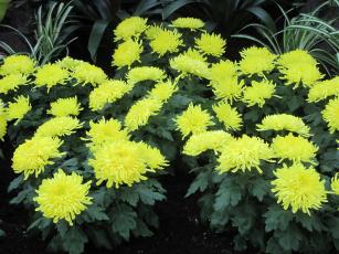 обоя цветы, хризантемы, желтый