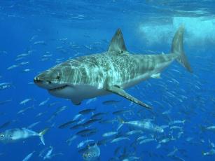 обоя животные, акулы, челюсти, хищник, рыба, вода, охота, акула, shark
