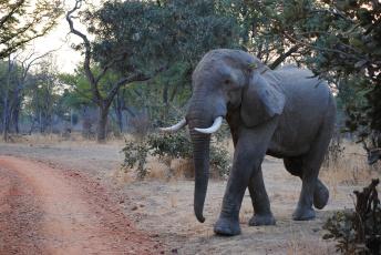 обоя животные, слоны, слон