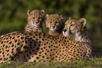 обоя животные, гепарды, детёныши, котята