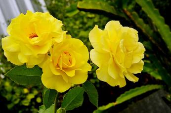 обоя цветы, розы, цветок