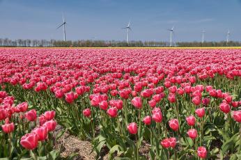 обоя цветы, тюльпаны, плантация